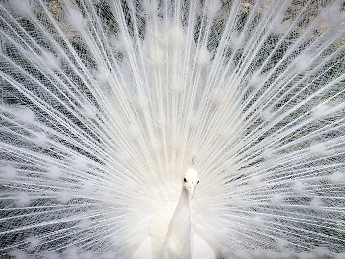 Beautiful View Of A Peacock