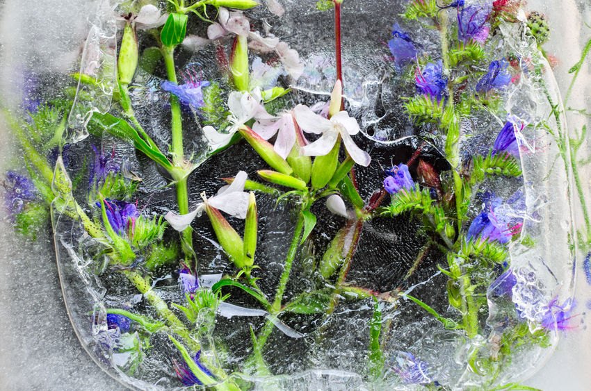 Wildflowers frozen in ice Beauty In Nature Blooming Close-up Day Flower Freshness Frozen Frozenwildflowers Ice Nature No People Plant