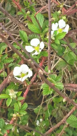 Growth Nature Plant Leaf Macro Bloom Beauty In Nature No People Outdoors Green Color Close-up Day Berry Fruit Wild Berries Wild Flowers Dew Berry Vines Black Berry Blossom Spring Flowers 1st Flowers First Flowers Of Spring Wild Fruit Thorns Healthy Food Good For You