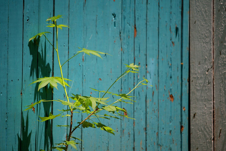 Breathing Dreams - like air #Blue #Plant #green #lights #ruleofthirds #shadows #soulful #tealblue #vintage #wooden Beauty In Nature Day Fence No People Outdoors Sunlight Wall - Building Feature