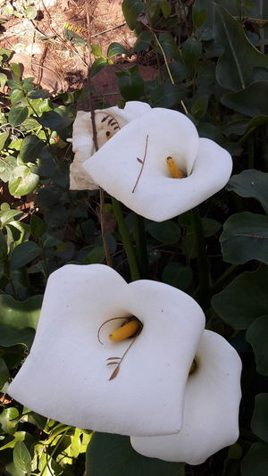 High angle view of white flowers blooming outdoors