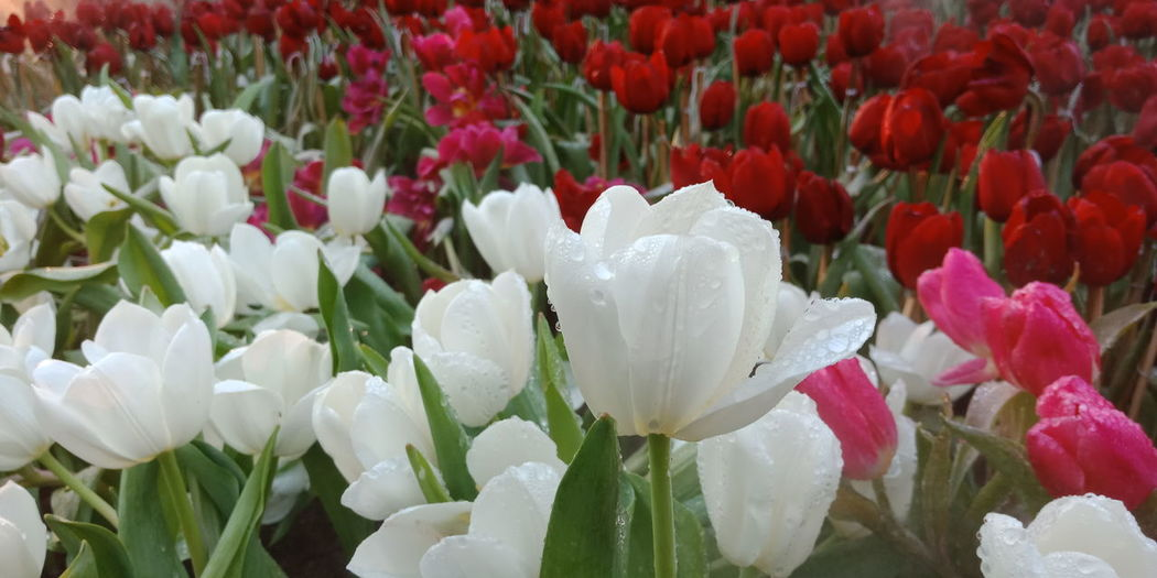 Close-up of white tulips