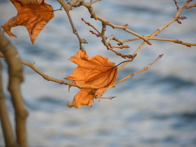 Golden Colors Autumn Leafs On A Tree Branch No People Day Outdoors
