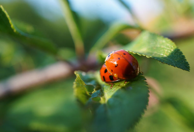 Божьи коровки Ladybug Animals In The Wild Insect Green Color Animal Themes Close-up Selective Focus Leaf Red Beauty In Nature Outdoors