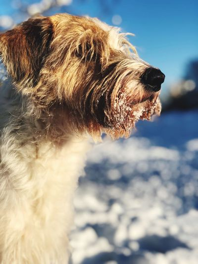 """Murmel"" Wintertime Kromfohrländer Aus Dem Einkreuzprojekt Dog Pets One Animal Domestic Animals Animal Themes Mammal Day Outdoors Focus On Foreground No People Sky"