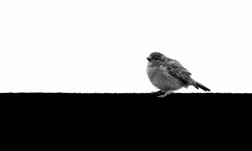 Bird on roof. Background in black and white. - Mini series photo 1 out of 2 black and white version. Black And White Black And White Photography Black And White Collection  Minimal Minimalism Minimalist Minimalistics Minimalistic Photography Svanemøllen Svanemøllenhavn østerbro Østerbro København Østerbro København Danmark København Danmark Denmark Copenhagen Denmark Bird On Roof Bird On Rooftop Black And White Background Black And White