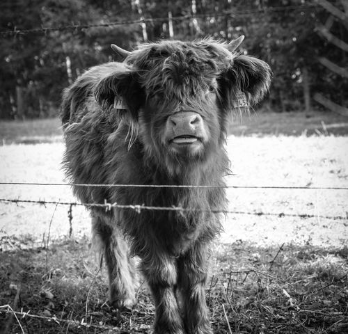 Day Blackandwhite In Thoughts With You Beautiful Day Beauty In Nature Idyllic Tranquility Tranquil Scene Scenics Scenery Blackandwhite Animal Themes Käthe Portrait Close-up Livestock Countryside Calm