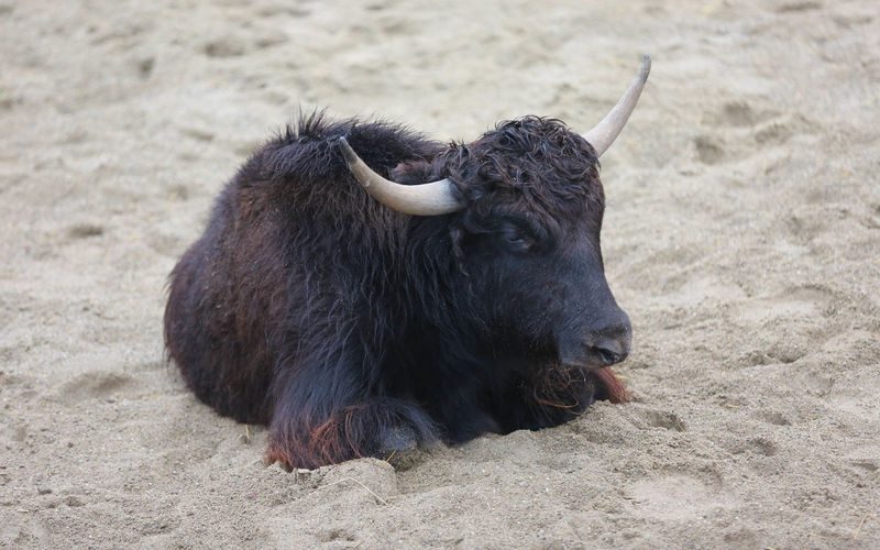 Bull Resting On Sand Outdoors
