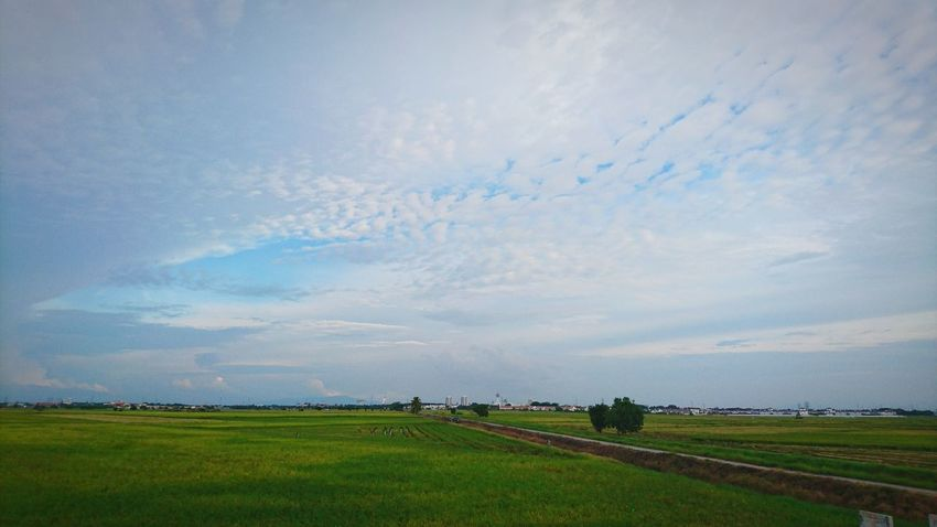 Agriculture Field Paddy Fields Sony Xperia Z5 Sun_collection, Sky_collection, Cloudporn, Skyporn Rice Field At Alor Setar Malaysia