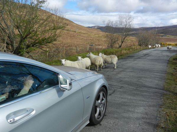 Sheep traffic in Scotland Sheeps Traffic Traffic Jam Vehicle Scottish Scotland Car Sheep Car Domestic Animals Transportation Mammal Animal Themes Sky Mobility In Mega Cities Cloud - Sky Road Day Land Vehicle Mountain No People Tree Pets Nature Outdoors Stories From The City