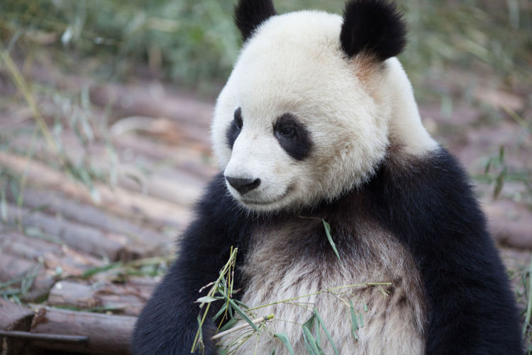 Giant panda with bamboo plant in zoo