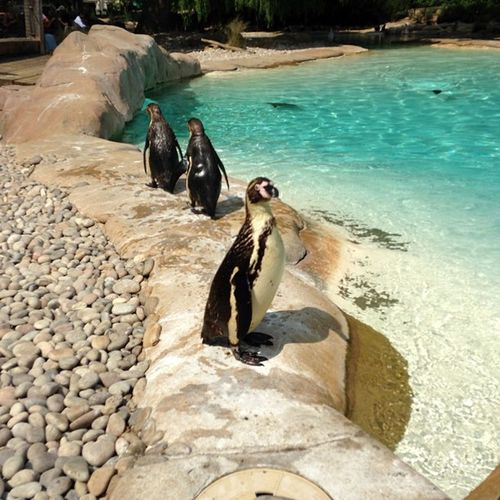 Some penguins at London Zoo Penguin Londonzoo London Zoo