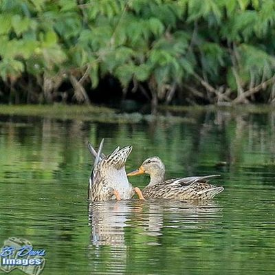 "Is this ""duck"" for Kiss My 🍑? 😂. Nature_shooters Bd_family Bd_birds Ducks Waterfowl Kissmyass Ig_discover_birdslife Ig_discover_wildlife Wildlife_perfection"