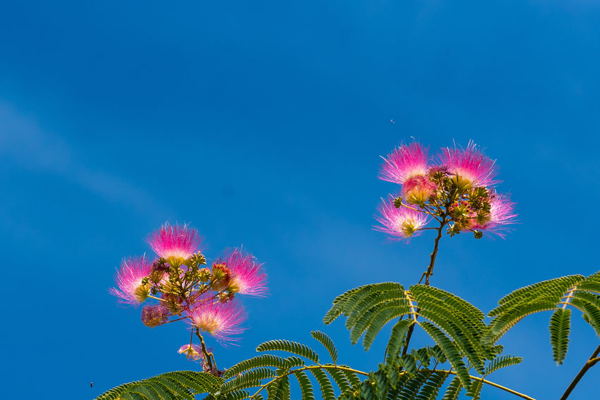 Albizia Albiziatree Beauty In Nature Blue Close-up Day Flower Flower Head Fragility Freshness Growth Low Angle View Multi Colored Nature No People Outdoors Pink Color Plant Silk Flowers Silk Tree Sky