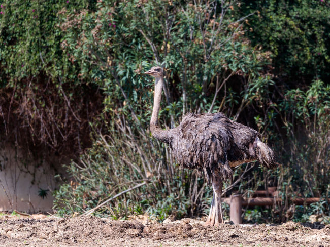The female ostrich (Struthio camelus) stands on a sunny day amidst green bushes on a sunny day Nature Ape Business National Ramat Gan - Tel Aviv Travel Zoo Adaptation Animal Themes Attraction Biology Conservation Day Environment Israel Landscape Mammal Nature Population Predator Reserve Safari Savanna Tourism Wildlife