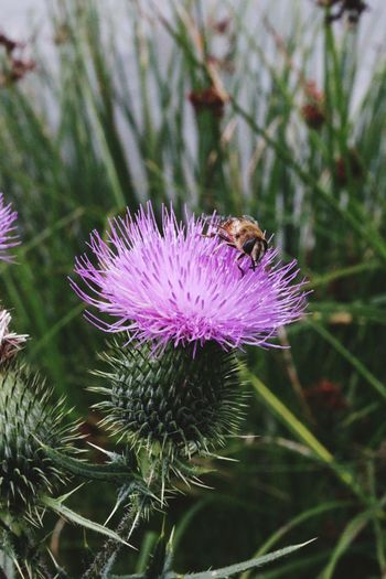 Macro bee Flower Animal Themes One Animal Animals In The Wild Nature Insect Purple Focus On Foreground Growth Thistle Wildlife Plant Day No People Beauty In Nature Fragility Close-up Bee Outdoors Flower Head Bees Flowers Macro Macro Photography Macro Nature The Week On EyeEm