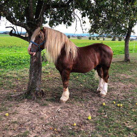 Domestic Animals Horse Field Tree