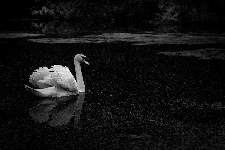 Fine Art Swan