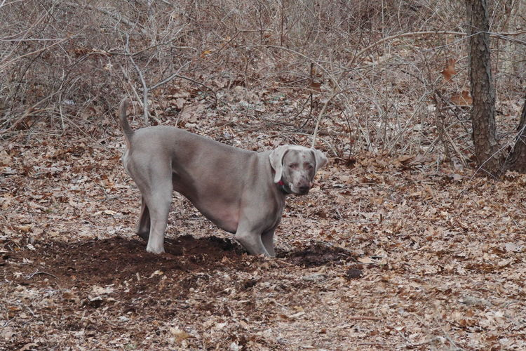 Phantom, digging for chipmunks. I think he wants Chinese chipmunks, but we live in the USA. Animal Themes Day Digging Dog Digging Dog Digging A Hole Domestic Animals Mammal One Animal Outdoors Pets Weimaraner Weimaranerlove Weimaraners Weimaraners Of Eyeem
