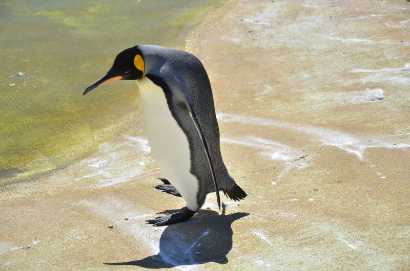 Penguin walking to water in a zoo Walking Around Animal Animal Themes Animal Wildlife Beak High Angle View Nature Penguin Sunlight To Water