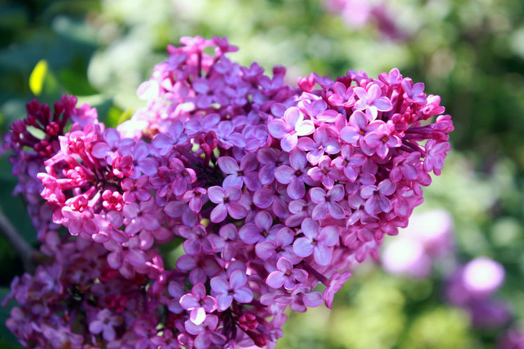 Beauty In Nature Blooming Close-up Day Flower Flower Collection Flower Head Focus On Foreground Fragility Freshness Growth Lilac Nature No People Outdoors Petal Pink Color Plant