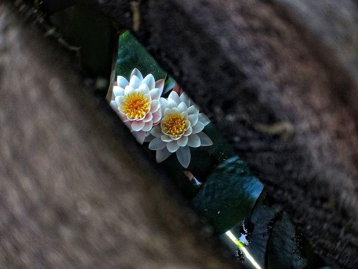 La belleza escondida Followme Flores Flower Natural Beauty Natural Naturaleza Nature Fullcolor Loto Lotoflower Flor De Loto Hidden Escondida Pantano Lake Rustic Wood