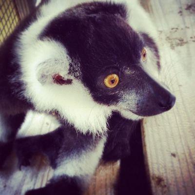 Lemur encounter at the Gulf Coast Zoo Littlezoothatcould Lemurencounter Gulfshores Gulfcoastzoo