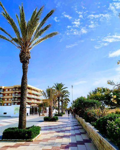 Palm trees on sidewalk against blue sky