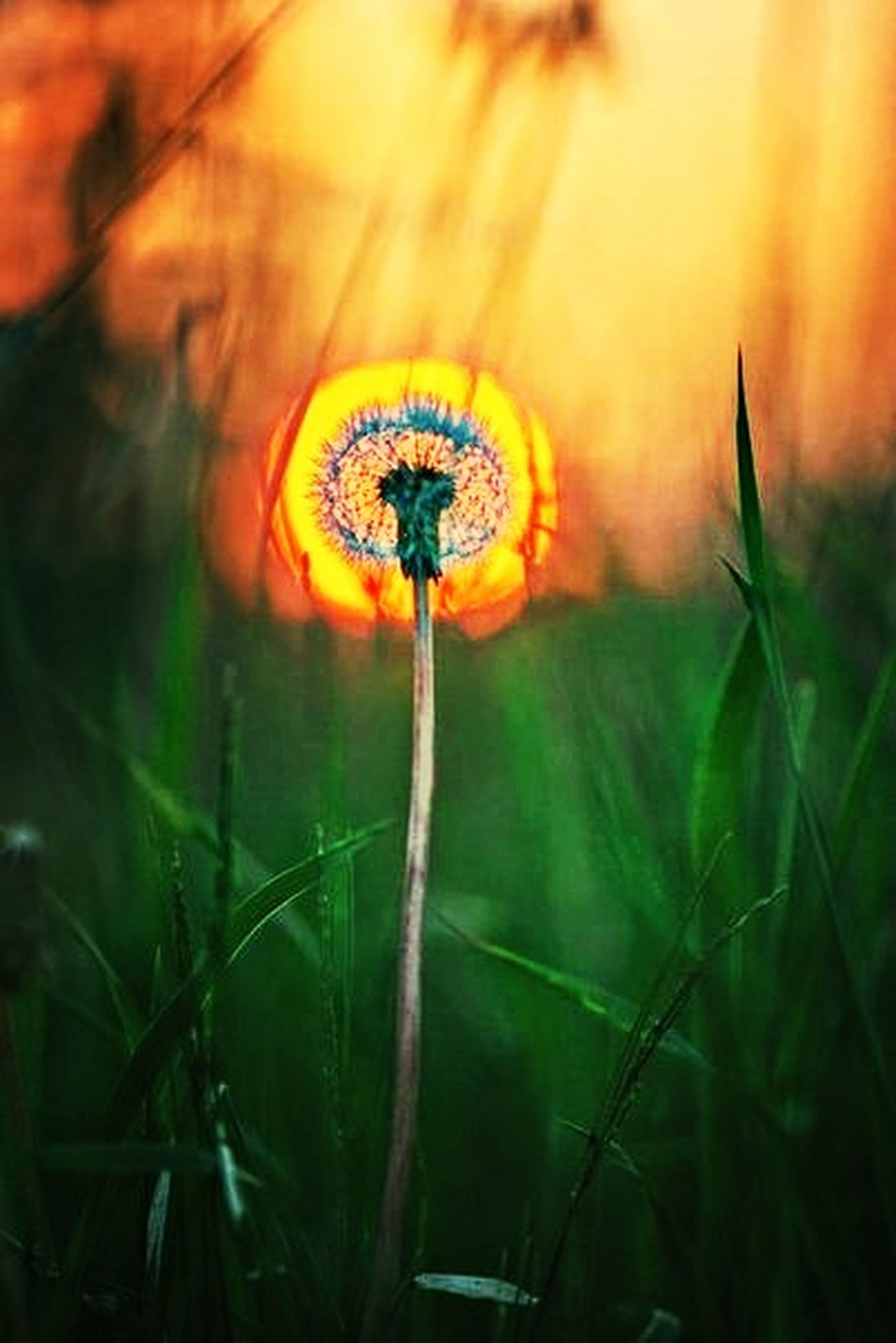 focus on foreground, growth, close-up, grass, fragility, field, plant, nature, beauty in nature, dandelion, stem, selective focus, green color, outdoors, no people, freshness, day, flower, yellow, tranquility