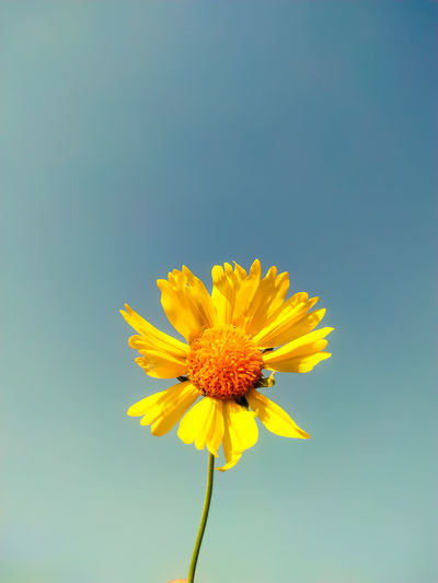 Close-up of yellow flower against clear sky