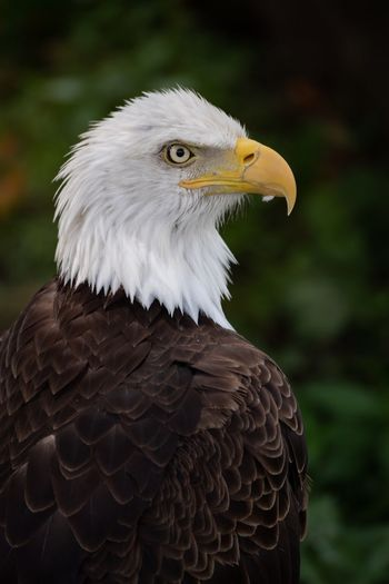 Bald eagle portrait Eagles Philadelphia EyeEm Selects Bird Animal Bird Of Prey Animals In The Wild Animal Themes Animal Wildlife Close-up Focus On Foreground Animal Body Part Eagle - Bird Bald Eagle Vertebrate Looking Away Eagle One Animal Feather  Beak No People Nature Looking