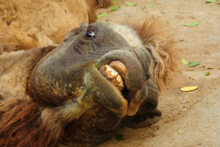 Alertness Animal Head  Animal Themes Bactrian Camel Cam Close-up Curiosity HEAD Mammal One Animal Relaxation Relaxing Two Animals Zoology