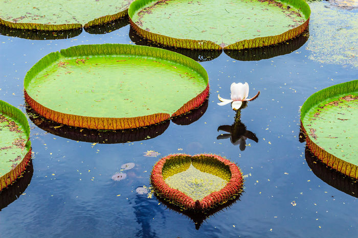 Amazon ASIA Background Decorated Decoration Exotic Flowers Floating On Water Flower Freshness Giant Lily Pads Green Color Guyana Lotus Water Lily Nymphaeaceae Reflection Standing Water Swimming Tradition Victoria Amazonica Victoria Amazonica Leaf Water Water Plant Waterfront