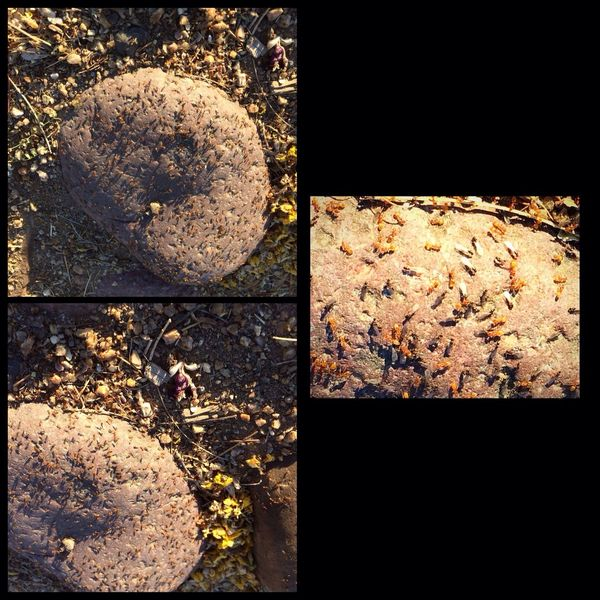 Was taking a Morning Walk this morning and almost step on this nest of ants, going crazy because a bunch of new queen ants were getting ready for flight to start new colonies elsewhere. I felt itchy the rest of the morning, Lol 🐜😂✨ https://paypal.me/pools/c/83C98Mcfza West Wetlands, Yuma, AZ Swarm Fun With IPhone Me Alone Nature Walk Beauty In Nature Insect Photography IPhone Photography Queen Ants Ant Colony Ants Nest Nature Close-up