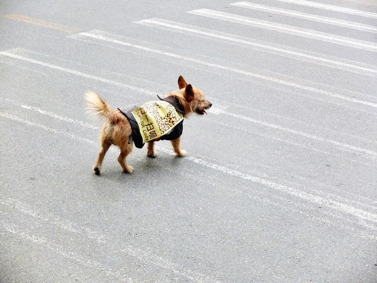Dog Road Pets Animal Street Asphalt Domestic Animals Walking One Animal Animal Themes Day Outdoors Mammal No People Pet Portraits China Photos Coding Advertising