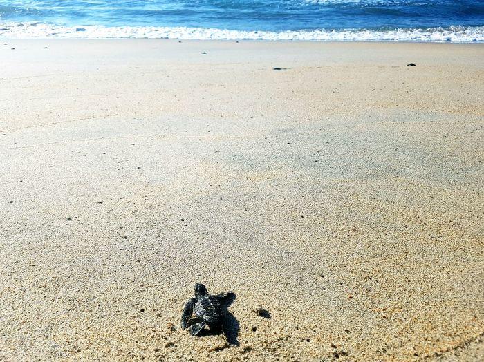 Beach Sea Sand Shore Wave Water Nature Outdoors Beauty In Nature Coastline Day Sunshine Nature Marine Life Marine Turtle 🐢 Turtles Turtle Cute Animals Mexico Playa Ventura