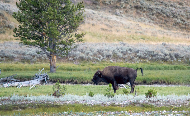 bison calling for friends in Yellowstone Outdoors Photograpghy  Vacation Bison Group Hairy  Dangerous Animals Majestic Creature Animal Wildlife Mammal Brown Bison Beautiful Day Landscapes Buffalos Nature Active Yellowstone National Park