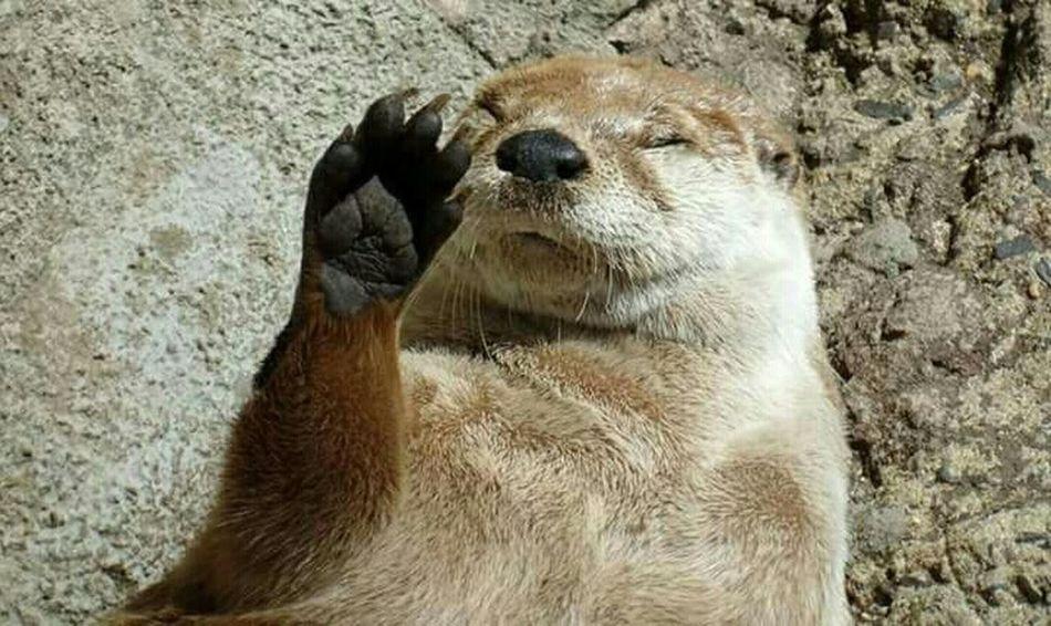 Silly Sleeping Otter Otter Otters Silly Being Silly Funny FUNNY ANIMALS EyeEm Eyem Best Shots Nature_collection EyeEmBestPics EyeEm Best Shots Eye4photography  EyeEm Nature Lover EyeEm Gallery Eyemphotography No Filter