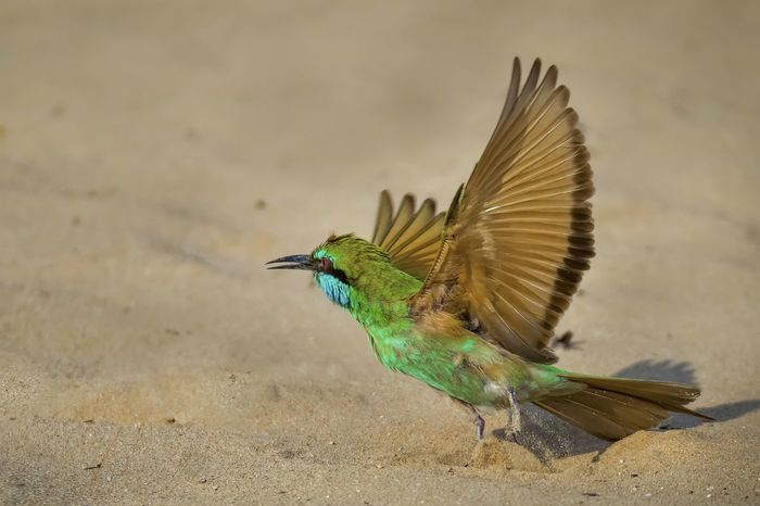 Breathing Space One Animal Animal Animal Wildlife Animals In The Wild No People Animal Themes Nature Day Outdoors Close-up Bird Green Color Desert Green Bee Eater Feathers Feather_perfection Feathered Beauty Green Feather Green Bee Eater, Flying Bird Take Off