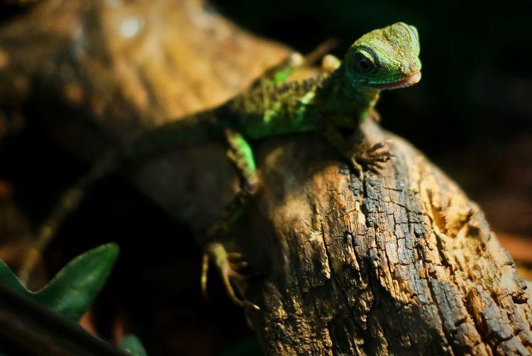 Portrait Of Chameleon On Branch