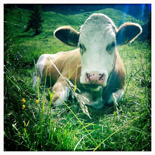 A cow in the bavarian alps Alps Alpen Bauernhof Landwirtschaft Tier Bayern Germany Kuh Grass Animal Mammal Animal Themes Domestic Domestic Animals Plant Cattle Field Looking At Camera Cow