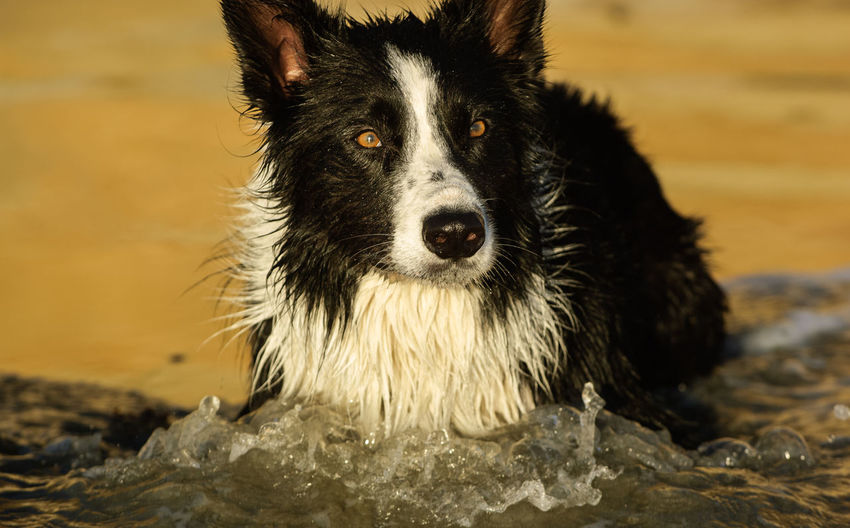 Border Collie dog outdoor portrait Animal Animal Themes Black Border Collie Canine Close-up Collie Dog Domestic Domestic Animals No People One Animal Pets Portrait Water White Background