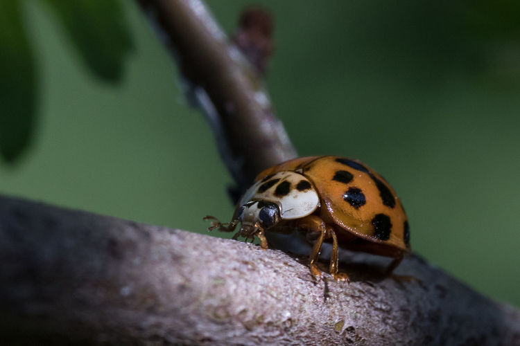 Ladybug Animals In The Wild Animal Wildlife One Animal Animal Themes Animal Insect Invertebrate Close-up Beetle Selective Focus Day No People Spotted Nature Ladybug Zoology Focus On Foreground Outdoors Animal Markings Beauty In Nature Ladybird