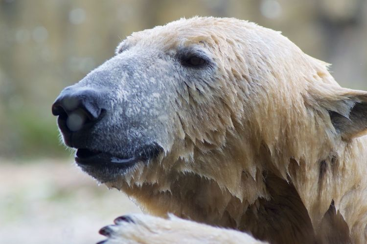 Animal Themes One Animal Animal Animal Wildlife Animals In The Wild Bear Mammal Vertebrate Close-up Polar Bear Animal Body Part Animal Head  Day Focus On Foreground No People Nature Zoo Outdoors Zoology Animal Nose Snout Animal Mouth