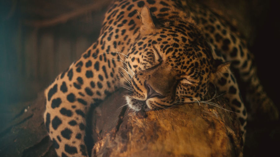 Anapa Animal Themes Close-up Day Feline Leopard Mammal Nature No People One Animal Panther Spotted Zoo Zoo Balu Sleepy Sleepy Cat Bigcat Animals