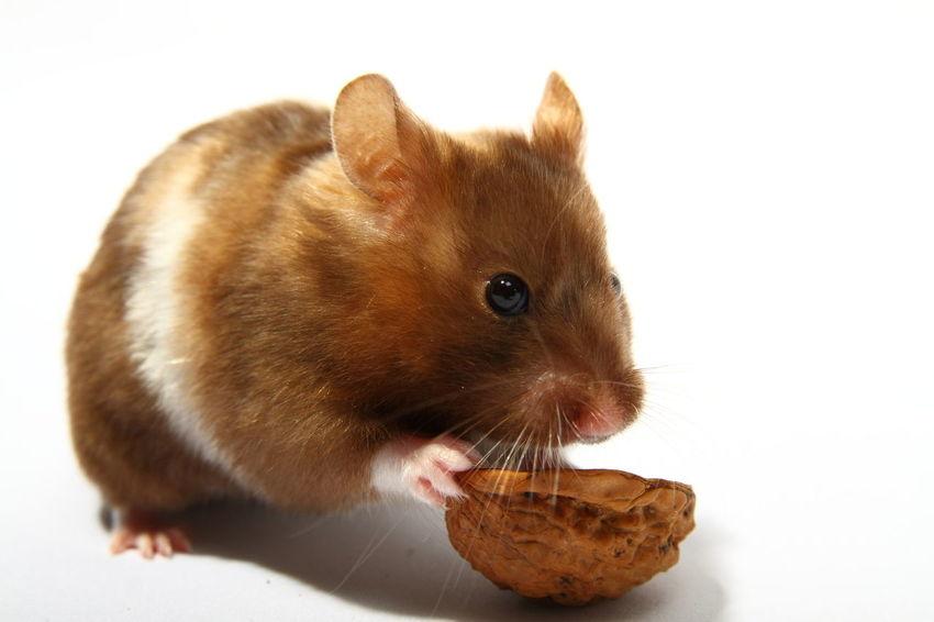 Syrian hamster eating a wallnut Adorable Animal Close Up Cute Domestic Animals Eat Eating Feeding  Food Fur Furry Hamster Isolated Mammal Nut Nuts One Pet Portrait Pretty Rodant Single Syrian Hamster  Wallnut Wallnuts