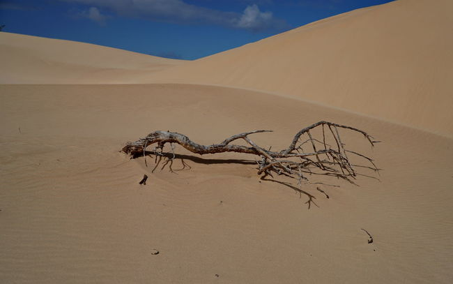 c12 Fuerteventura Arid Climate Beauty In Nature Corralejo Day Dead Tree Desert Landscape Mummified Tree Nature No People Outdoors Sand Sand Dune Scenics Sky Tranquil Scene Tranquility