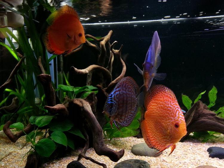 my discus :) Discus Discusfish Aquarium