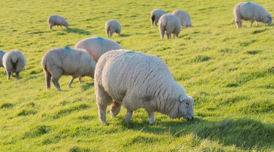 Sheep and lamb Farm Grass Lamb Pasture Sheep Wool Young Animal Husbandry Dyke  Feed  Flock Of Sheep Forage Fur Lambs Meadow Sheep Wool Young Animal Young Sheep