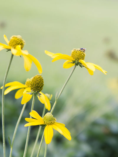 Bee Blooming Close-up Flower Flower Head Focus On Foreground Fragility Freshness Growth Nature Yellow